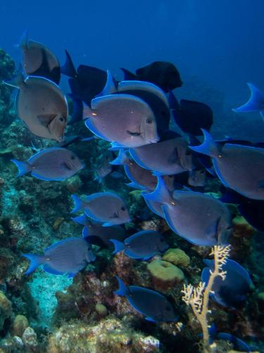 Shoal of Blue Tang